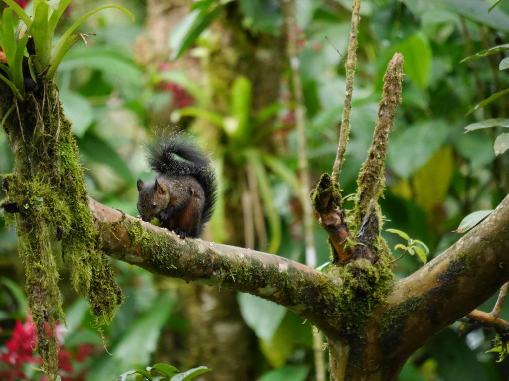 auch im Regenwald gibt es Eichhörnchen