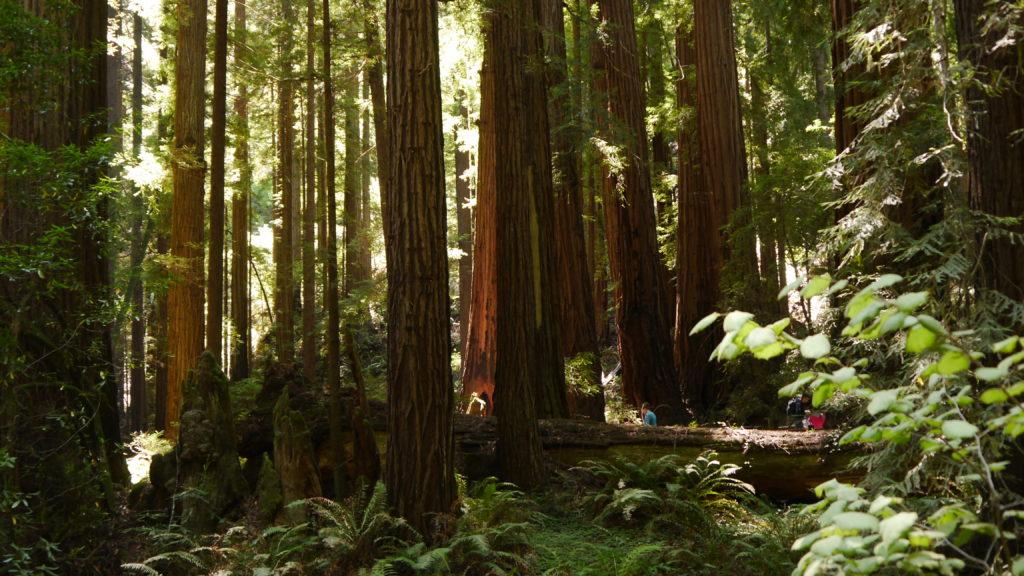 Riesenbäume