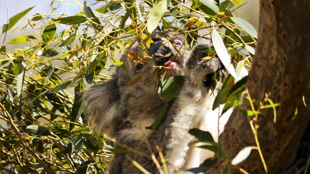 ein Zufall einen munteren Koala zu sehen... meist schlafen sie