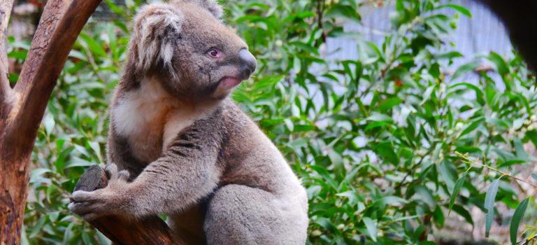 Melbourne#Healsville#Koalas#Yarra Valley#Kingslake#