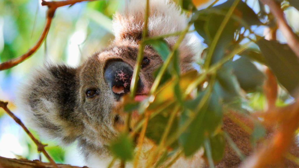 dieser kleine Koala war auch richtig neugierig