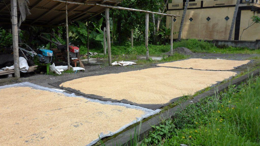 der Reis wird zum Trocknen einige Tage auf Planen ausgebreitet und immer wieder gewendet