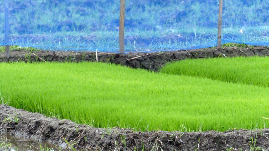 junge Reispflanzen