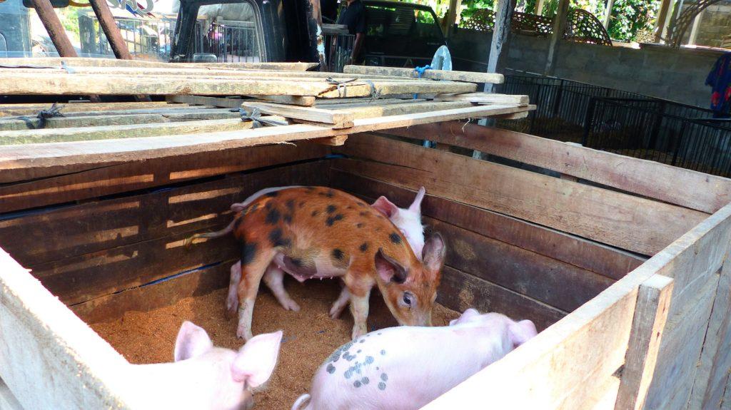 so süße arme Schweinchen....
