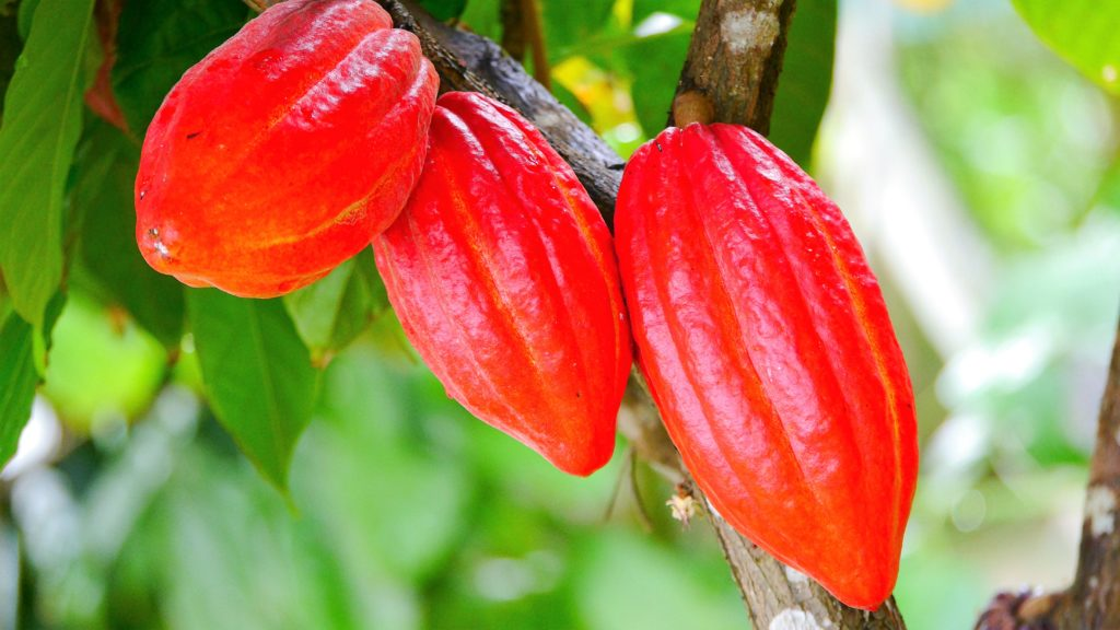 leuchtend rote Kakaobohnen