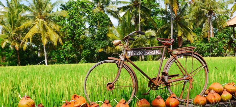 Biken durch die Reisfelder#Reisernte#Reisterassen von Tegalalang