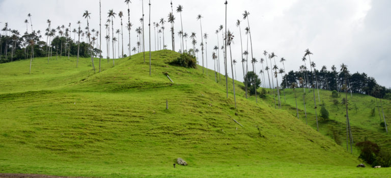 Valle de Cocora, Heimat der Wachspalmen