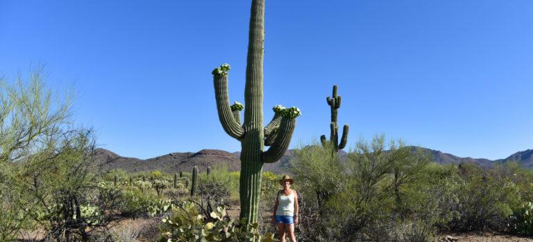 Von stacheligen Gesellen im Seguaro Nationalpark