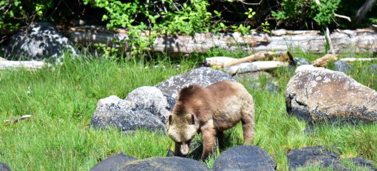 Den Bären auf der Spur