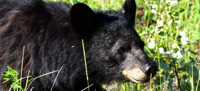 Coole Kneipen und Schwarzbären auf unserem Weg nach Dawson City