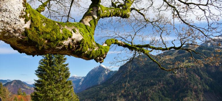 Zeitzeugen.. mehr als 400 Jahre alte Ahornbäume im Bregenzerwald